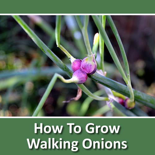 How To Grow Walking Onions