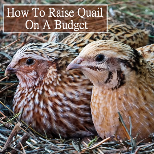 How To Raise Quail On A Budget