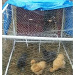 DIY Dog House Chicken Coop Plans