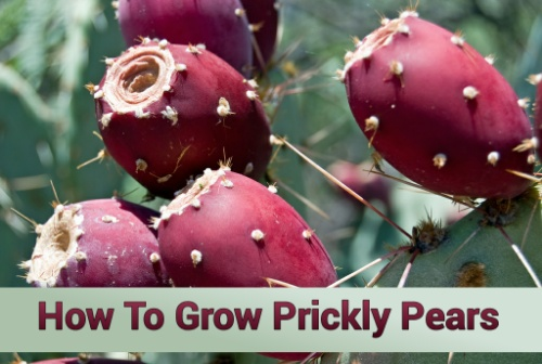 How To Grow Prickly Pears