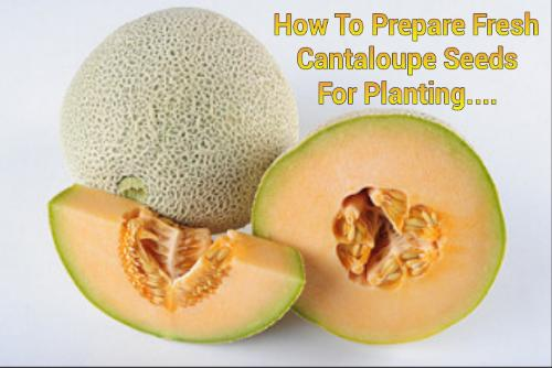 How To Prepare Fresh Cantaloupe For Planting