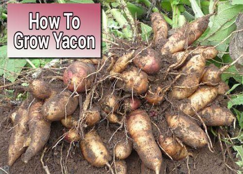Growing Yacon