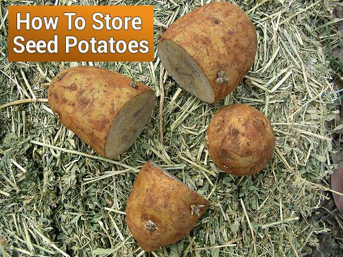 Storing Seed Potatoes Properly