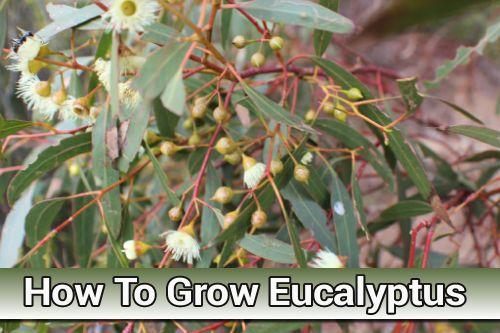How To Grow Eucalyptus Trees