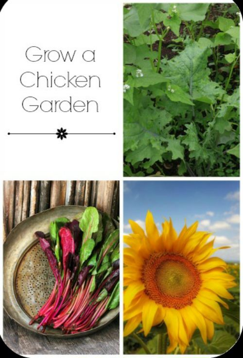 How To Grow Organic Chicken Feed