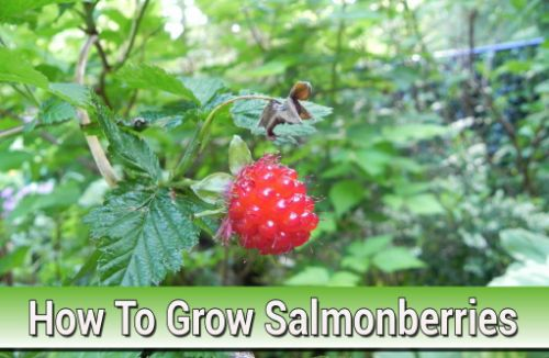 How To Grow Salmonberries
