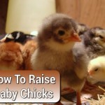 How To Take Care Of Baby Chicks