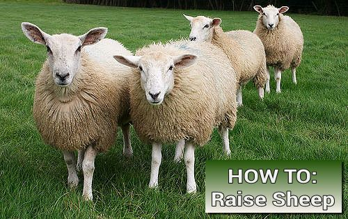 How To Raise Sheep On Yor Homestead
