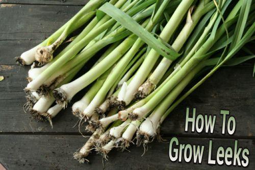 How To Grow Leeks
