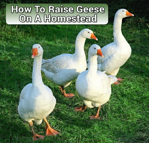 How To Raise Geese