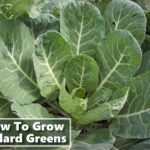 How To Grow Collard Greens