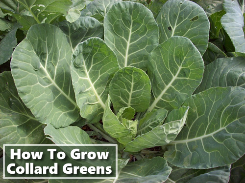 How To Grow Collard Greens