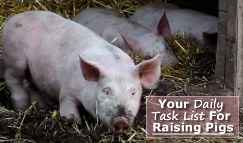 Daily Task List For Raising Pigs