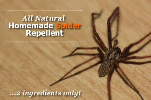 Homemade Spider Repellent Recipe