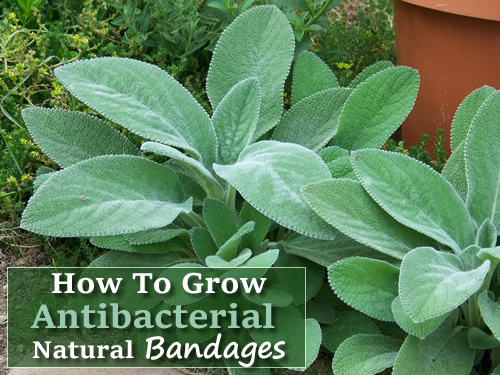How To Grow Antibacterial Bandages