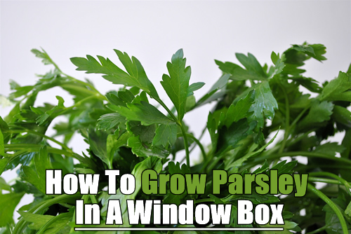 How To Grow Parsley In A Window Box