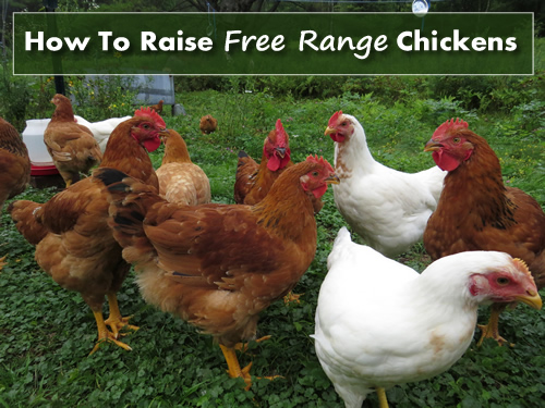 How To Raise Free Range Chickens