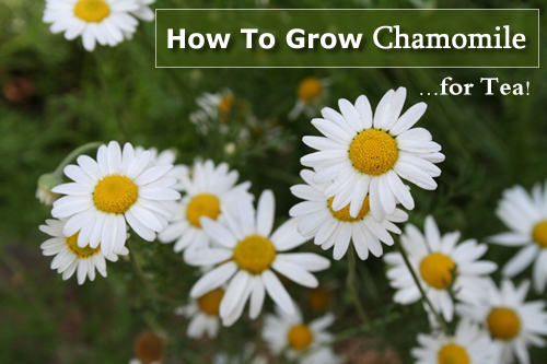 How To Grow Chamomile Tea