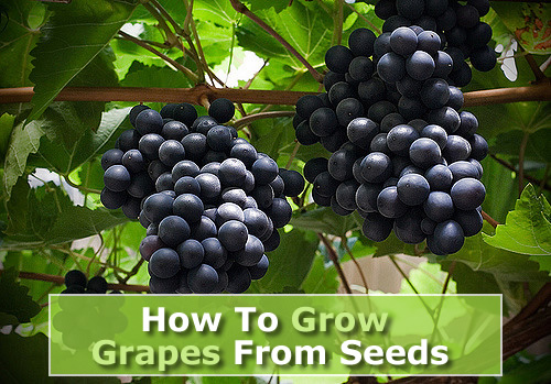 Growing Grapes From Seeds