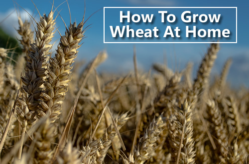 Growing Wheat At Home