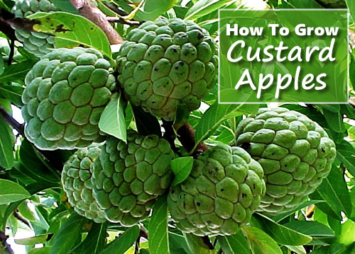 How To Grow Custard Apples