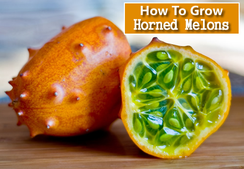 How To Grow African Horned Melons