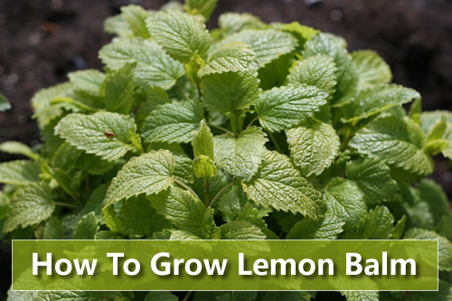 How To Grow Lemon Balm