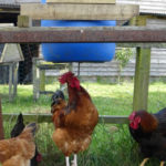 Homemade Chicken Grain Peck Feeder