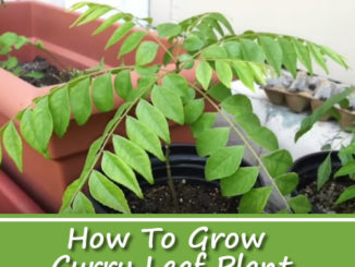 How To Grow Curry Leaf Plant From Cuttings