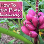 How To Grow Pink Banana Plant