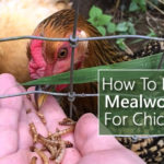 How To Raise Mealworms For Chickens
