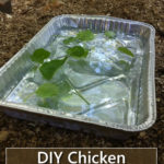 DIY Chicken Spa Treatment