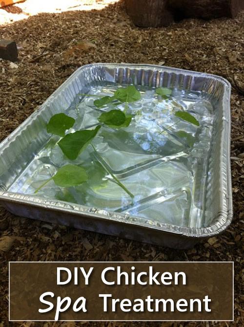 DIY Chicken Spa Treatment