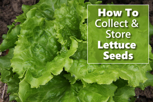 How To Collect & Store Lettuce Seeds