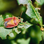 How To Get Rid Of Stink Bugs