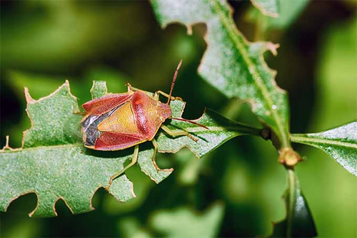 How to get rid of stink bugs - How to get rid of stink bugs in garden ...