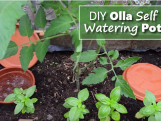 DIY Olla Self Watering Pots