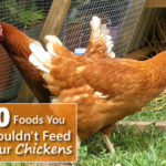 10 Foods You Shouldn't Feed Your Chickens