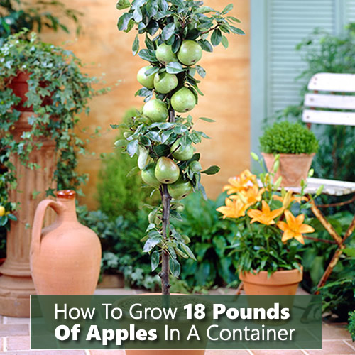 How To Grow 18 Pounds Of Apples In A Container