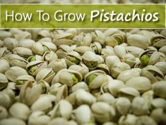 How To Grow Pistachios