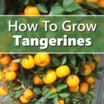 How To Grow Tangerines