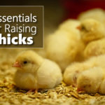5 Essentials For Raising Chicks