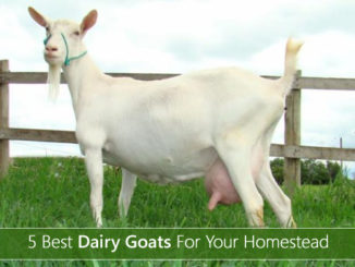 5 Best Dairy Goats Breeds For Your Homestead