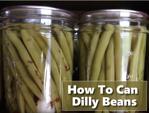 Canning Dilly Beans