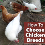 How To Choose Your Chicken Breeds