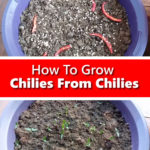 How To Grow Chilies From Chilies