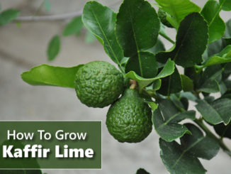 How To Grow Kaffir Lime