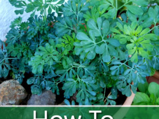 How To Grow Rue