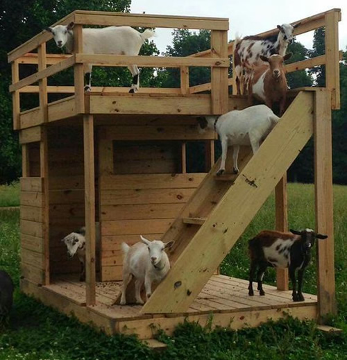 DIY Rooftop Terrace Goat House