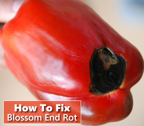 How To Fix Blossom End Rot